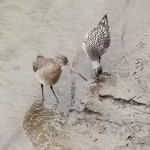 Black-tailed and Bar-tailed Godwits
